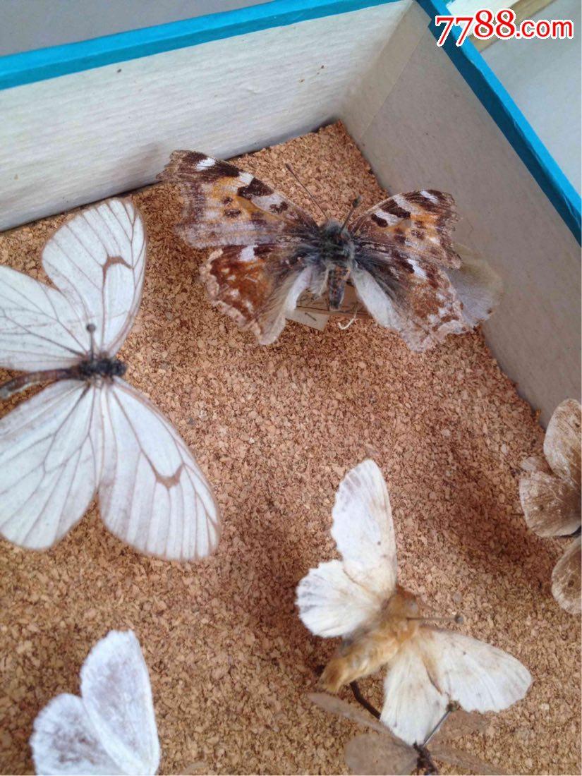 (集宁标本功效蝴蝶老虎)一盒脂作用的蜻蜓与蜜蜂