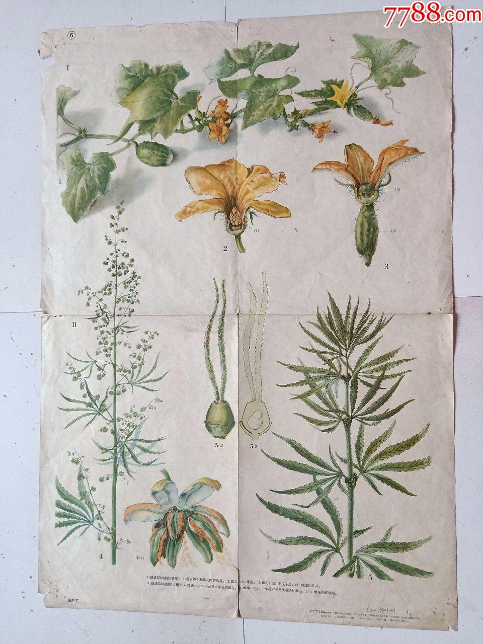 单性花(印刷画约76M*53CM)