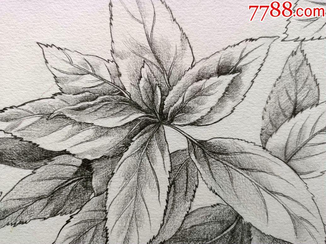 精美的铅笔素描画稿原稿《树叶》图片