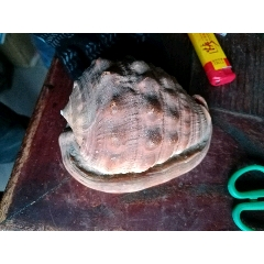 13厘米長海螺,有磕碰(se77361425)_7788舊貨商城__七七八八商品交易平臺(7788.com)