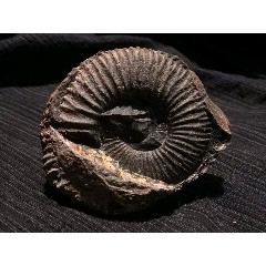 西藏阿里地區的菊石化石(se78033807)_7788舊貨商城__七七八八商品交易平臺(7788.com)
