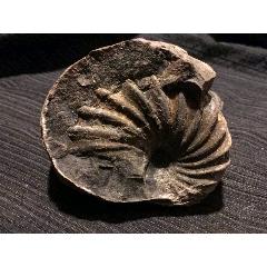 西藏阿里地區的菊石化石(se78033823)_7788舊貨商城__七七八八商品交易平臺(7788.com)