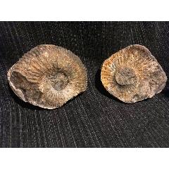 西藏阿里地區的菊石化石(se78036643)_7788舊貨商城__七七八八商品交易平臺(7788.com)