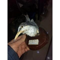 鳥標本(se78111599)_7788舊貨商城__七七八八商品交易平臺(7788.com)