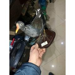 鳥標本(se78111662)_7788舊貨商城__七七八八商品交易平臺(7788.com)
