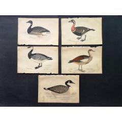 19世紀手工上色銅版畫《英國鳥類史》插頁《紅胸黑雁》等5張保真(se78175500)_7788舊貨商城__七七八八商品交易平臺(7788.com)