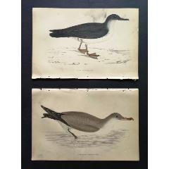 19世紀手工上色銅版畫《英國鳥類史》插頁《普通鹱》等2張保真(se78175493)_7788舊貨商城__七七八八商品交易平臺(7788.com)