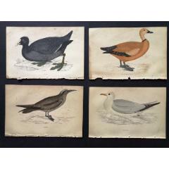 19世紀手工上色銅版畫《英國鳥類史》插頁《三趾鸻》等4張保真(se78175491)_7788舊貨商城__七七八八商品交易平臺(7788.com)