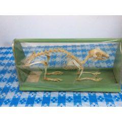 銀狐兔骨骼標本(se78176741)_7788舊貨商城__七七八八商品交易平臺(7788.com)