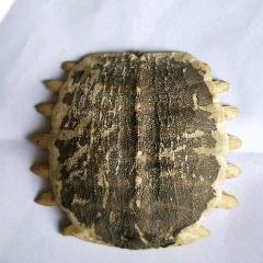 鱉甲甲魚殼(se78186720)_7788舊貨商城__七七八八商品交易平臺(7788.com)
