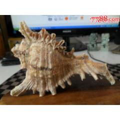 稀有海螺。長10cm(se78477740)_7788舊貨商城__七七八八商品交易平臺(7788.com)