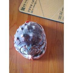 天然貝殼(se78704081)_7788舊貨商城__七七八八商品交易平臺(7788.com)