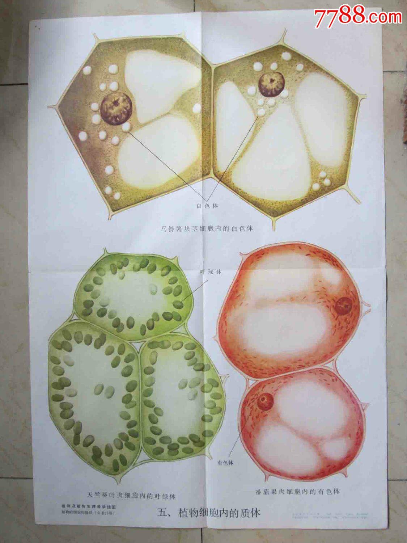植物细胞内的质体