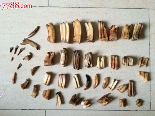 动物牙齿标本