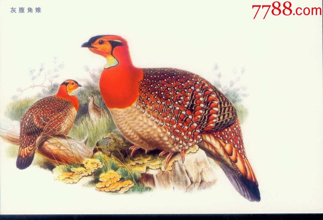 2016年版-----丁酉年鸡年---灰腹角雉---无资明信片_第1张_7788收藏