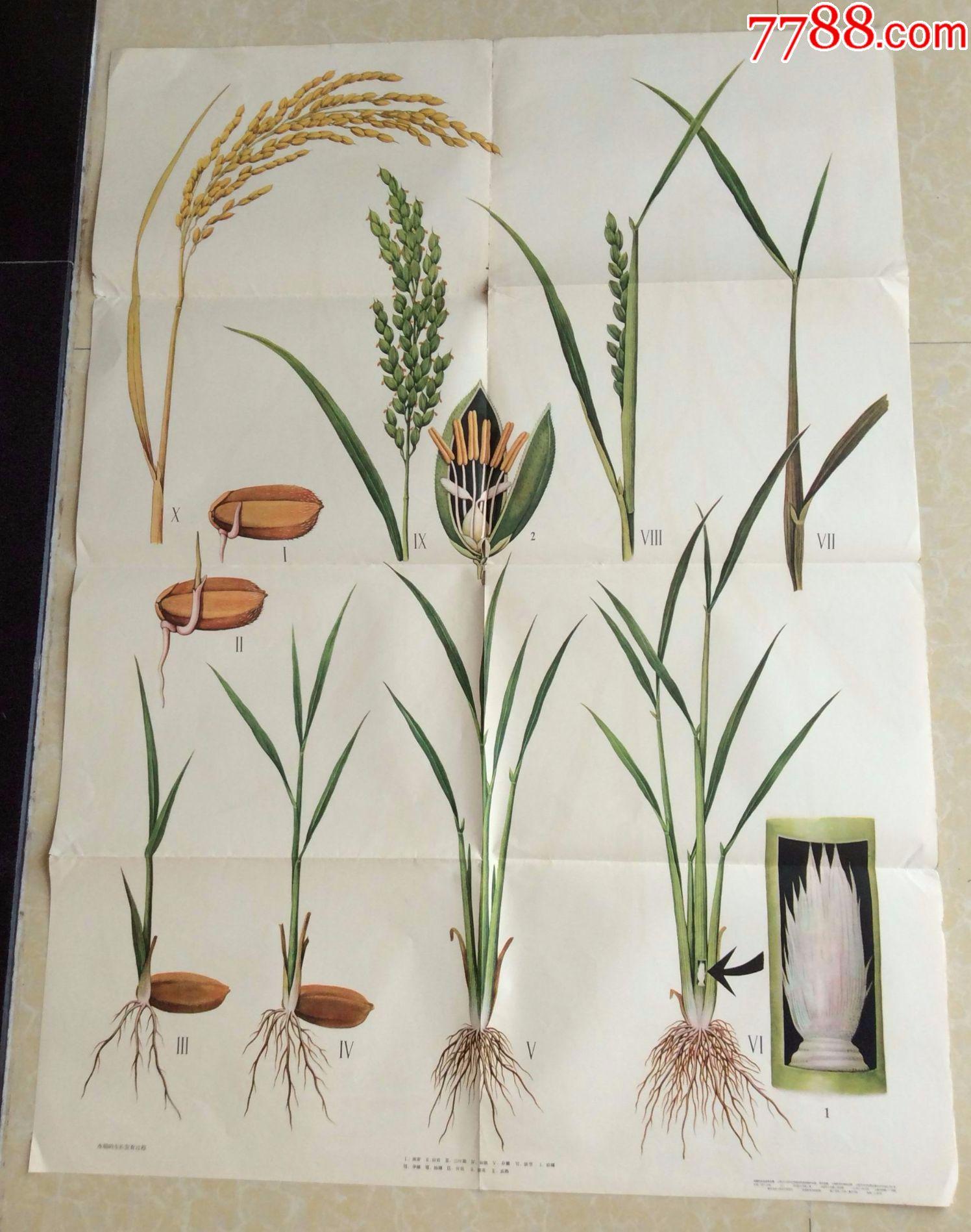 水稻的生长发育过程图片