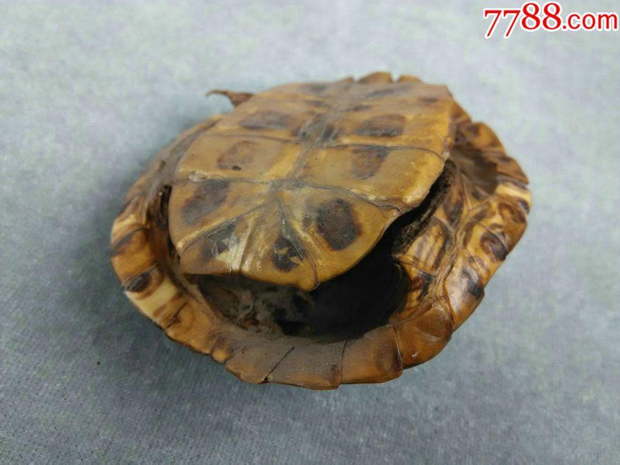 *fwpbe,一个老的乌龟壳摆件,龟纹漂亮,背壳完整